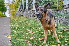 狗德国牧羊犬在一个城市在一天 免版税库存图片