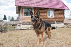 狗德国牧羊犬在村庄 免版税库存照片