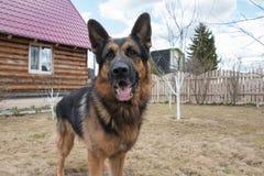 狗德国牧羊犬在村庄 免版税库存图片
