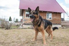 狗德国牧羊犬在村庄 库存图片