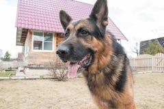 狗德国牧羊犬在村庄 库存照片