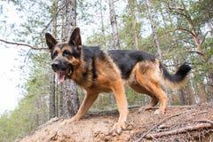 狗德国牧羊犬在森林里 免版税库存图片
