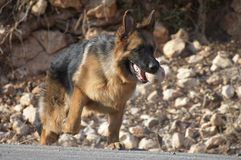狗德国牧羊犬培训 免版税库存图片