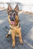 狗德国牧羊犬 免版税库存照片