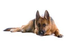 狗德国牧羊犬 免版税库存图片
