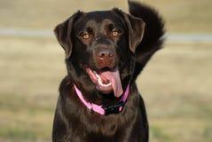 狗愉快的拉布拉多猎犬 图库摄影