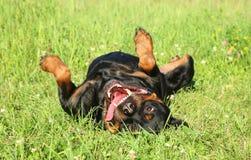 狗愉快的rottweiler 库存图片