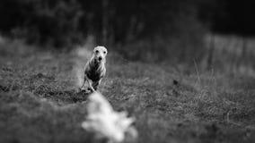狗意大利灵狮追求在领域的诱饵 库存图片