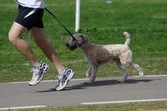 狗慢跑者皮带公园 图库摄影