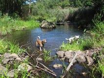 狗戏剧在森林池塘 免版税库存图片