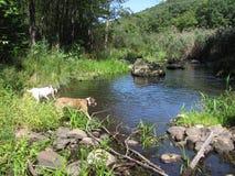 狗戏剧在森林池塘 图库摄影