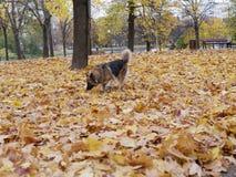 狗戏剧在秋天公园 免版税库存照片