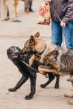 狗战斗 护羊狗攻击 免版税库存照片