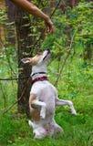 狗执行命令并且坐它的后腿 免版税库存图片