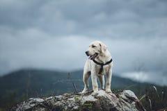 狗拉布拉多猎犬在室外的四个月 免版税库存照片