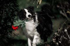 狗拿着一朵红色玫瑰色花的博德牧羊犬 库存照片