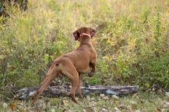 狗指向 免版税库存照片