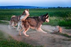 狗捉住了猫 两名西伯利亚爱斯基摩人捉住了在路的一只暹罗猫 猫被保护免受攻击 狗对 猫 库存照片