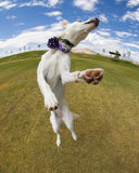 狗捉住了跳在天空中在有白点透镜的公园 库存图片