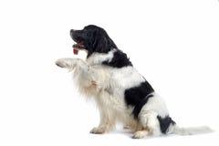 狗提供的爪子 免版税库存照片