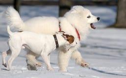 狗插孔罗素萨莫耶特人狗 免版税图库摄影