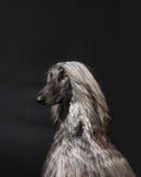 狗摆在 免版税库存照片