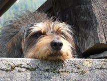 狗放松 免版税库存图片