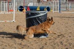 狗敏捷性:桶 图库摄影