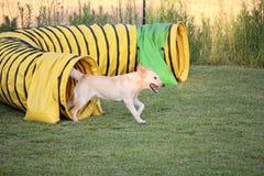 狗敏捷性 库存照片