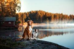 狗新斯科舍鸭子敲的猎犬和杰克罗素狗 免版税库存图片