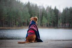 狗新斯科舍鸭子敲的猎犬坐在毯子下 免版税图库摄影