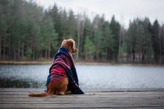 狗新斯科舍鸭子敲的猎犬坐在毯子下 免版税库存照片