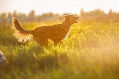 狗新斯科舍鸭子敲的猎犬走 免版税库存图片