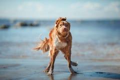 狗新斯科舍鸭子敲的猎犬走 库存图片