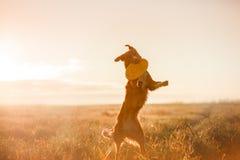 狗新斯科舍鸭子敲的猎犬 库存照片