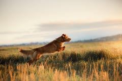 狗新斯科舍鸭子敲的猎犬 免版税库存照片
