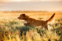 狗新斯科舍鸭子敲的猎犬 免版税库存图片