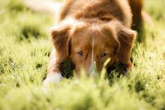 狗新斯科舍鸭子敲的猎犬 免版税图库摄影