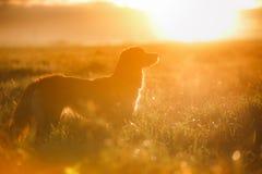 狗新斯科舍鸭子敲的猎犬 图库摄影