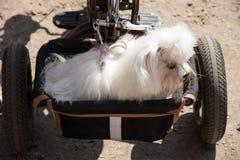 狗旅行与在篮子自行车拖车的所有者 免版税库存照片