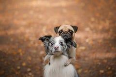狗是一个哈巴狗和一只博德牧羊犬在公园 免版税库存照片