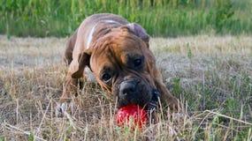 狗有红色球的品种拳击手 库存照片