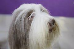 狗有胡子的大牧羊犬 免版税库存照片