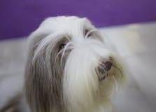 狗有胡子的大牧羊犬 免版税图库摄影