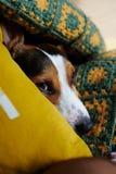 狗杰克罗素在床上说谎 免版税库存照片