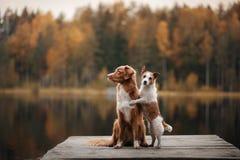狗杰克罗素狗和新斯科舍鸭子敲的猎犬 免版税库存图片