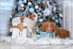 狗杰克罗素狗和狗敲Retrie的新斯科舍鸭子 库存图片