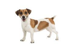 狗杰克罗素狗查找对照相机和微笑 免版税图库摄影