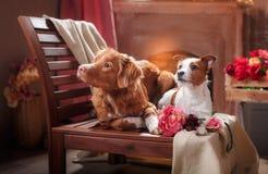 狗杰克罗素狗和狗新斯科舍在演播室低头说谎在一把椅子的敲的猎犬画象狗 免版税库存图片