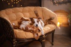 狗杰克罗素狗和狗新斯科舍鸭子敲的猎犬 新年快乐,圣诞节,宠物在屋子里圣诞节tre 库存照片